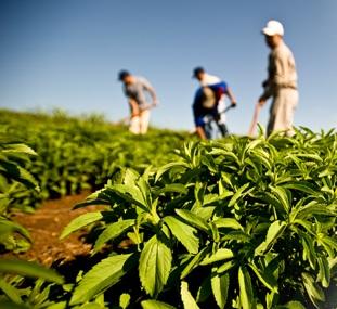 Прибиране на реколта от стевия